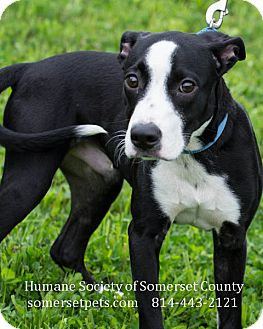 Pit Bull Terrier Mix Puppy for adoption in Somerset, Pennsylvania - Lyness