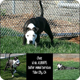 American Pit Bull Terrier Mix Dog for adoption in Yuba City, California - 02/11 Chaz