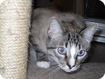 Siamese Cat for adoption in El Dorado Hills, California - BUDDHA
