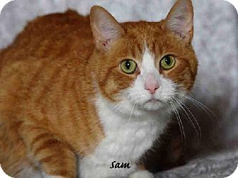 Domestic Mediumhair Cat for adoption in Indianapolis, Indiana - SAM