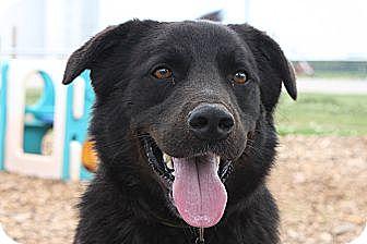 Labrador Retriever/Border Collie Mix Dog for adoption in Russellville, Kentucky - Cash