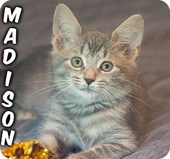 Domestic Shorthair Kitten for adoption in River Edge, New Jersey - Madison