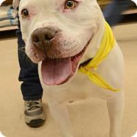 Adopt A Pet :: Snow - Rockaway, NJ