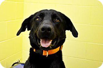 Labrador Retriever/Golden Retriever Mix Dog for adoption in Fort Smith, Arkansas - Bucky