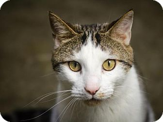 Domestic Shorthair Cat for adoption in Cary, North Carolina - Peeta--ADOPTED