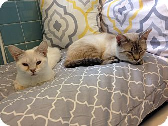 Siamese Cat for adoption in Nashville, Tennessee - Ming and JIn