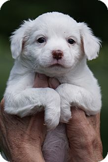 Spaniel (Unknown Type)/Collie Mix Puppy for adoption in Media, Pennsylvania - JOEY of G Team