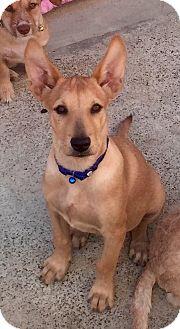 Labrador Retriever/German Shepherd Dog Mix Puppy for adoption in Long Beach, California - Ginger