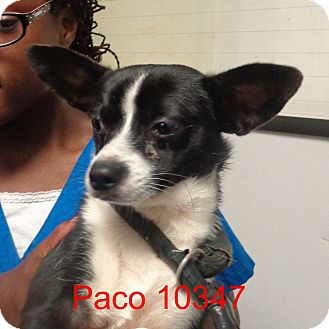 Chihuahua/Pug Mix Dog for adoption in Greencastle, North Carolina - Paco
