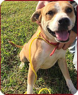Labrador Retriever Mix Dog for adoption in Charlotte, North Carolina - BUGG