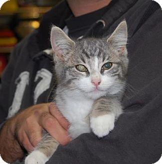 Domestic Shorthair Kitten for adoption in Brooklyn, New York - Mr. Grinch