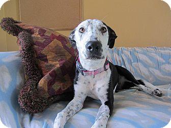 Dalmatian/Border Collie Mix Dog for adoption in Ridgway, Colorado - Pepper