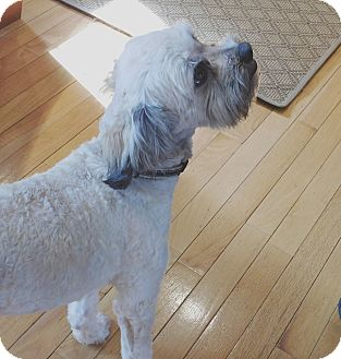 Schnauzer (Standard)/Poodle (Standard) Mix Dog for adoption in Conesus, New York - Lucky