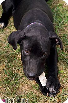 Labrador Retriever/Dalmatian Mix Puppy for adoption in Bloomington, Illinois - Nessa