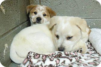 Hound (Unknown Type) Mix Puppy for adoption in Henderson, North Carolina - Poppy Pups