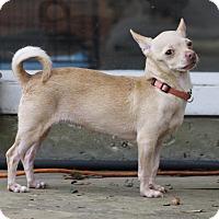 Adopt A Pet :: SuzyQ - Dallas, TX