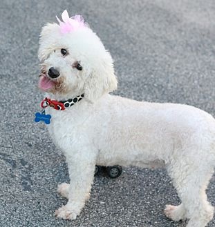 Bichon Frise Dog for adoption in CHESTERFIELD, Michigan - Sugar(diabetic)