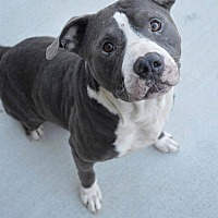 Pit Bull Terrier Mix Dog for adoption in Prince George, Virginia - Jonathan