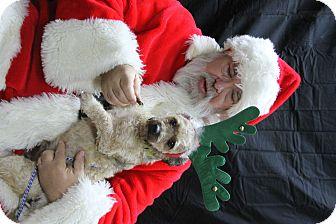 Lhasa Apso/Schnauzer (Miniature) Mix Dog for adoption in Rockwall, Texas - Bello
