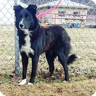 Australian Shepherd/Border Collie Mix Dog for adoption in Cannelton, Indiana - Buddy