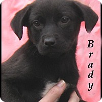Adopt A Pet :: Brady- Adoption Pending - Marlborough, MA