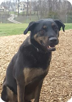 Shepherd (Unknown Type) Mix Dog for adoption in Hawk Point, Missouri - Duke