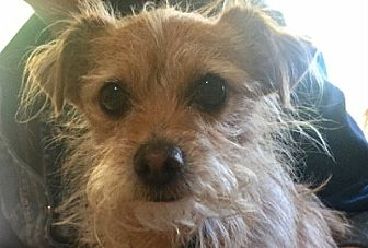 Terrier (Unknown Type, Small)/Cairn Terrier Mix Dog for adoption in San Juan Capistrano, California - DUSTY