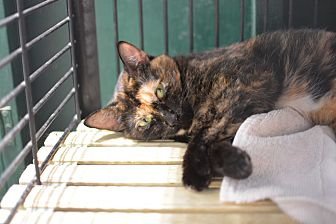 Domestic Shorthair Cat for adoption in Grinnell, Iowa - Ivy