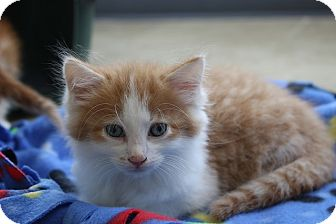 Domestic Shorthair Kitten for adoption in Sparta, New Jersey - Edwin