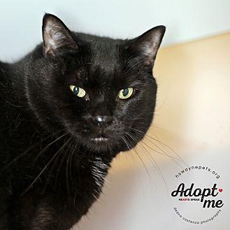 Domestic Shorthair Cat for adoption in Lyons, New York - Ellie