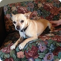 Chihuahua/Feist Mix Dog for adoption in Nixa, Missouri - Wylee X