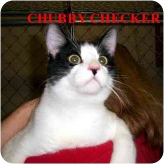 Domestic Shorthair Cat for adoption in Slidell, Louisiana - Chubby Checker