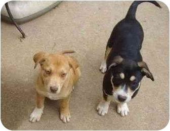 Catahoula Leopard Dog Mix Puppy for adoption in Haughton, Louisiana - Fanny and Freddy