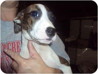 Hound (Unknown Type) Mix Puppy for adoption in Weeki Wachee, Florida - Dina