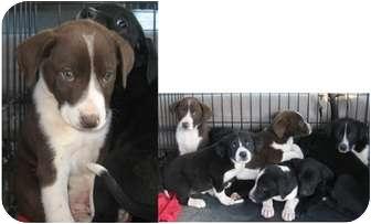 Labrador Retriever/Catahoula Leopard Dog Mix Puppy for adoption in Haughton, Louisiana - Michael's pups (URGENT)