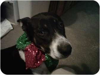 Border Collie Mix Dog for adoption in kennebunkport, Maine - Biscuit-in Maine-Foster Needed