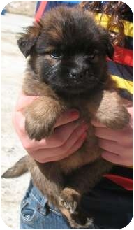 Chow Chow/Shepherd (Unknown Type) Mix Puppy for adoption in Corona, California - TEDDY BEAR PUPS A