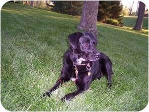 Labrador Retriever/Shepherd (Unknown Type) Mix Dog for adoption in Cincinnati, Ohio - Maisy