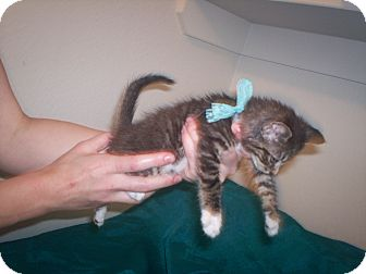 Colorpoint Shorthair Kitten for adoption in Austin, Texas - Coco
