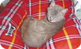 Russian Blue Cat for adoption in Daytona Beach, Florida - Oscar