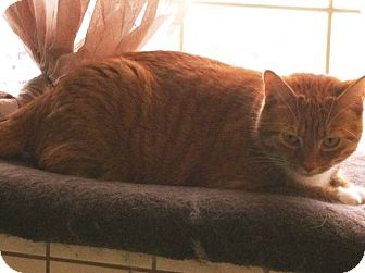 Domestic Shorthair Cat for adoption in Lexington, Kentucky - LEONA