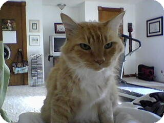 Domestic Mediumhair Cat for adoption in Edmond, Oklahoma - Baxter