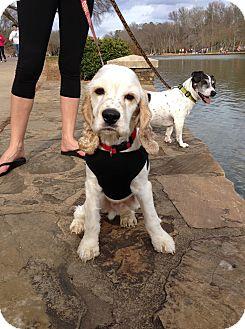 Cocker Spaniel Dog for adoption in Kannapolis, North Carolina - Rocky  -Adopted!