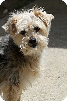 Yorkie, Yorkshire Terrier/Terrier (Unknown Type, Small) Mix Dog for adoption in Muskegon, Michigan - Dafney