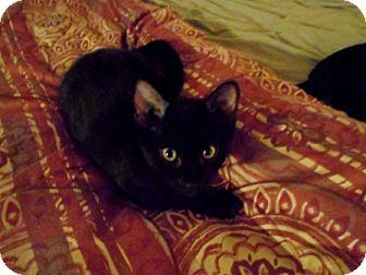 Domestic Shorthair Kitten for adoption in Houston, Texas - Figgie