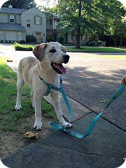 Golden Retriever/Shepherd (Unknown Type) Mix Dog for adoption in CHICAGO, Illinois - MASSEY