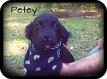 Cocker Spaniel/Terrier (Unknown Type, Small) Mix Puppy for adoption in Brattleboro, Vermont - Petey