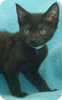 Domestic Shorthair Kitten for adoption in Bradenton, Florida - Bay