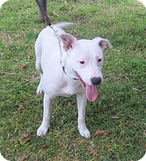 American Staffordshire Terrier Mix Dog for adoption in Kingwood, Texas - Pinkie