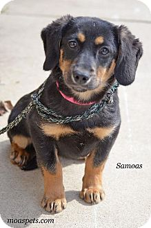 Dachshund/Terrier (Unknown Type, Small) Mix Puppy for adoption in Danielsville, Georgia - Samoas